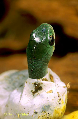 1R04-104b  Smooth Green Snake - young emerging  from egg - Opheodrys vernalis