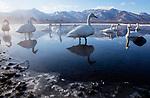 Japan, Hokkaido, whooper swans warming up in shallow lake near hot spring