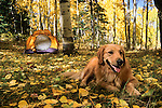 Golden retriever relaxing in campsite under autumn aspens, Gunnison National Forest, Colorado