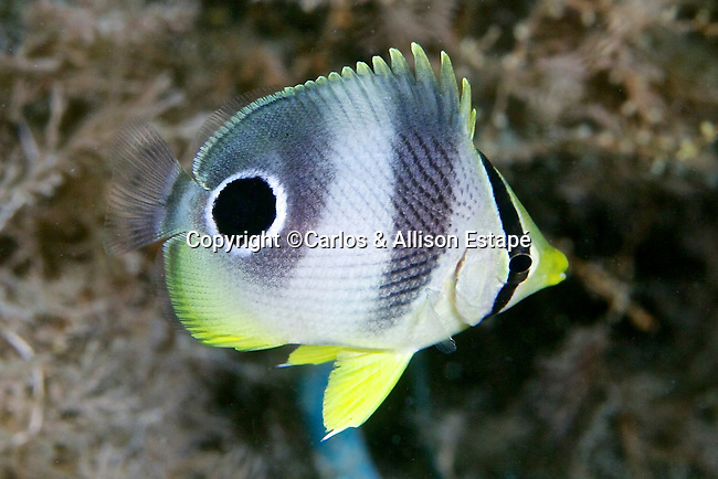 Chaetodon capistratus, Foureye butterflyfish, juvenile, Blue Heron Bridge, Florida