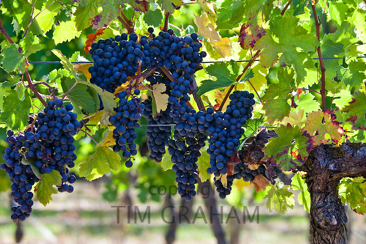 Ripe Merlot grapes on an ancient vine at Chateau Fontcaille Bellevue, in Bordeaux region of France