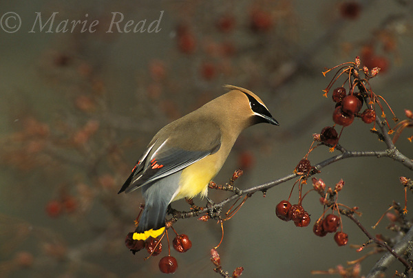 Cedar Waxwing (Bombycilla cedrorum) perched amid crabapple fruits, Ithaca, NY, USA<br />