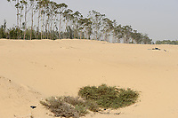 EGYPT: forest in the desert