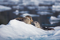 gd300. Harbor Seals (Phoca vitulina), mother and pup on iceberg at base of tidewater glacier.  Le Conte Glacier, Southeast Alaska, USA, Pacific Ocean..Photo Copyright © Brandon Cole. All rights reserved worldwide.  www.brandoncole.com..This photo is NOT free. It is NOT in the public domain. This photo is a Copyrighted Work, registered with the US Copyright Office. .Rights to reproduction of photograph granted only upon payment in full of agreed upon licensing fee. Any use of this photo prior to such payment is an infringement of copyright and punishable by fines up to  $150,000 USD...Brandon Cole.MARINE PHOTOGRAPHY.http://www.brandoncole.com.email: brandoncole@msn.com.4917 N. Boeing Rd..Spokane Valley, WA  99206  USA.tel: 509-535-3489