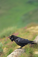 Common Raven calls, Denali National Park, Alaska