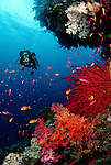 A diver (MR) kicks against a slight current while anthias and soft corals make a meal of passing plankton. Fiji.