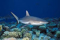 grey reef shark, Carcharhinus amblyrhynchos, Bikini Atoll, Marshall Islands, Micronesia, Pacific Ocean
