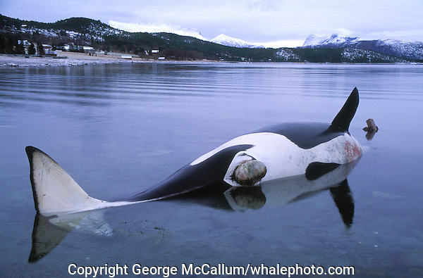 Killer whale, Orcinus orca,Stranded female cadaver or carcass, Tysfjord, Arctic Norway, North Atlantic