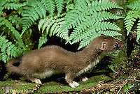 MA28-037z  Short-Tailed Weasel - ermine in brown summer coat - Mustela erminea