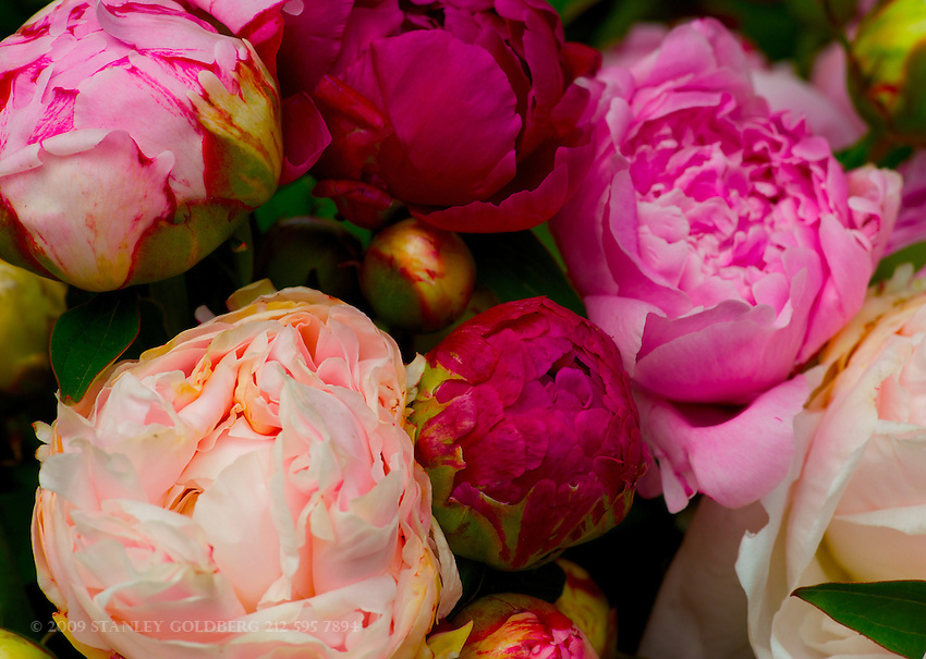 Pink and Magenta Peonies, Union Square Market