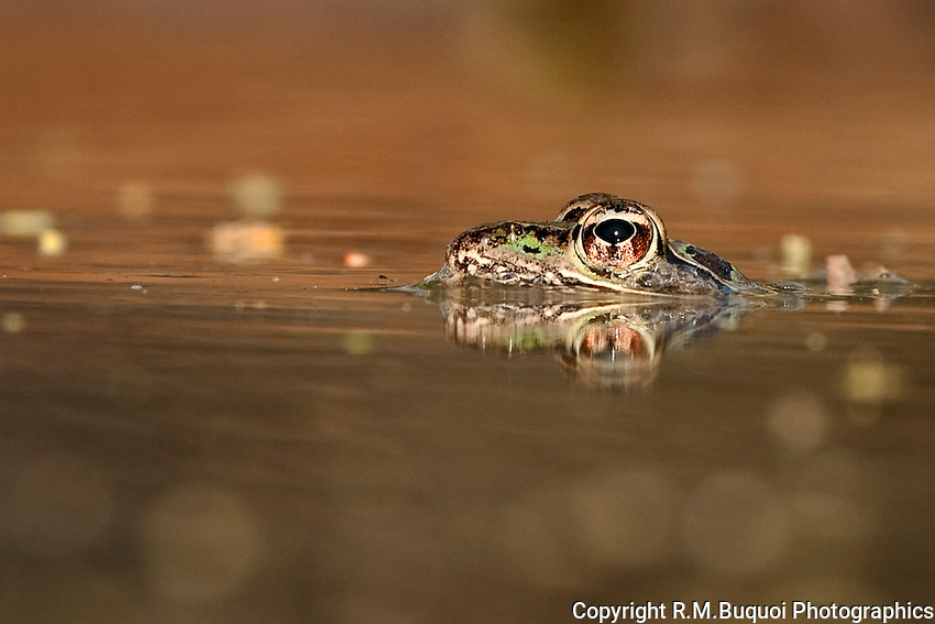 Leopard Frog peeping out of the water