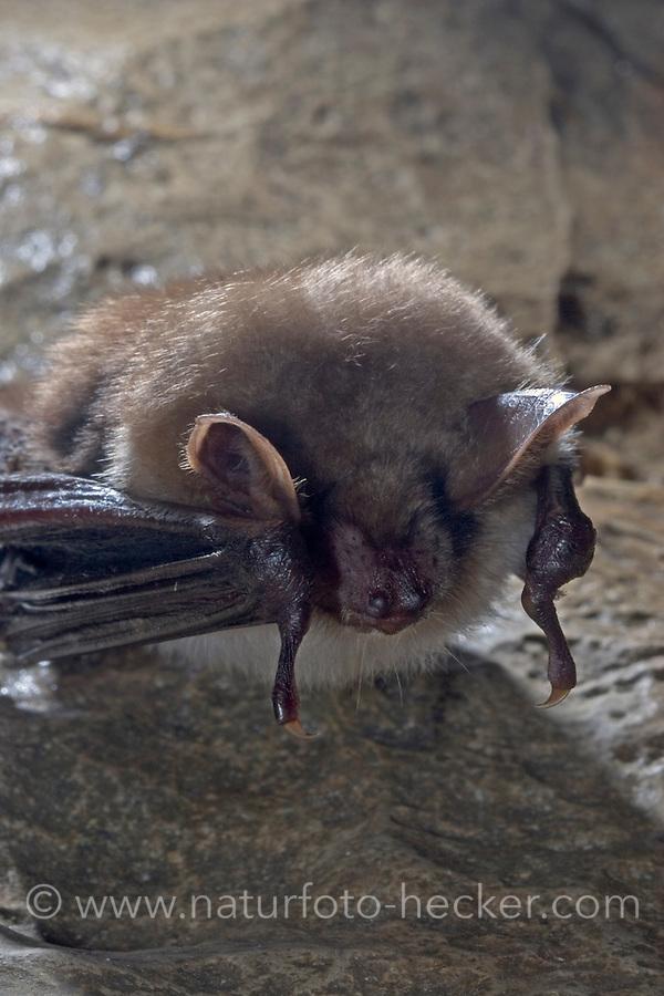 Großes Mausohr, Mausohr, Myotis myotis, Greater mouse-eared bat
