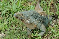 Blue iguana, blue dragon iguana, Cyclura lewisi, botanical gardens, Grand Cayman, Cayman Islands, Caribbean, endangered species, endemic species, (c), Atlantic