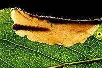 Geißblattgeistchen, Geißblatt-Geistchen, Geissblattgeistchen, Geissblatt-Geistchen, Raupe, Räupchen, Fraßgang in Blatt vom Geißblatt, Alucita hexadactyla, Alucita polydactyla, Phalaena hexadactyla, Twenty-plume Moth, twenty plume moth, Twenty-plumed Moth, Many-plumed moth, caterpillar, Geistchen, Alucitidae