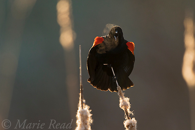 Red-winged Blackbird (Agelaius phoeniceus) male sings and displays on a cold spring morning. Ithaca, New York, USA.