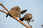 Yellow-billed Babbler (Turdoides affinis) pair stretching, Diyasaru Park, Colombo, Sri Lanka