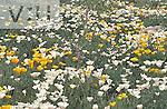 Mexican Gold Poppy (Eschscholtztia mexicana) Arizona, USA