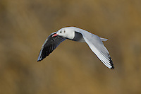 Winter plumage black-headed gull in flight<br />
