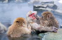Japanese macaque, or snow monkey, Macaca fuscata, adults, taking a bath, grooming,  in hot spring, Hokkaido, Japan