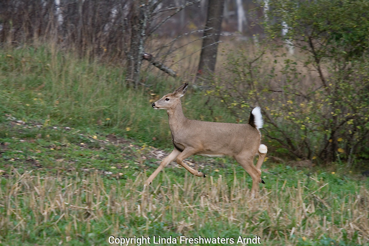 White-tailed doe (Odocoileus virginianus) running