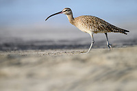 Whimbrel (Numenius phaeopus). Guerrero, Mexico. December.