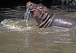"Young Hippo (Hippopotamus amphibius) playing in stream behind our camp in Masai Mara.    The Hippopotamus is One of Africa's ""Big Five"" & ""Big Nine"" mammals."