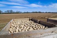 Maris Piper seed potatoes - Suffokl, March