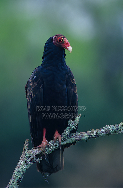 Turkey Vulture, Cathartes aura, adult perched, Willacy County, Rio Grande Valley, Texas, USA, April 2004
