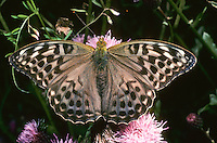 Kaisermantel, Silberstrich, Argynnis paphia, Silver-washed fritillary, Le Tabac d'Espagne, Edelfalter, Nymphalidae
