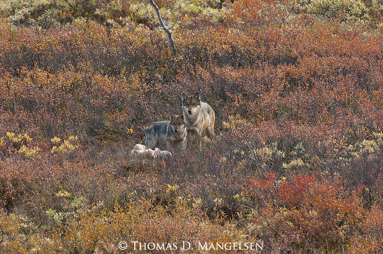 An adult and juvenile gray wolf stand alert next to a kill in Denali National Park, Alaska.