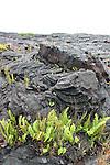 Kalapana Lava Flow - Recolonisation