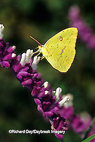 03091-00707 Cloudless Sulphur butterfly (Phoebis sennae) female on Mexican Bush Sage (Salvia leucantha) Marion Co. IL