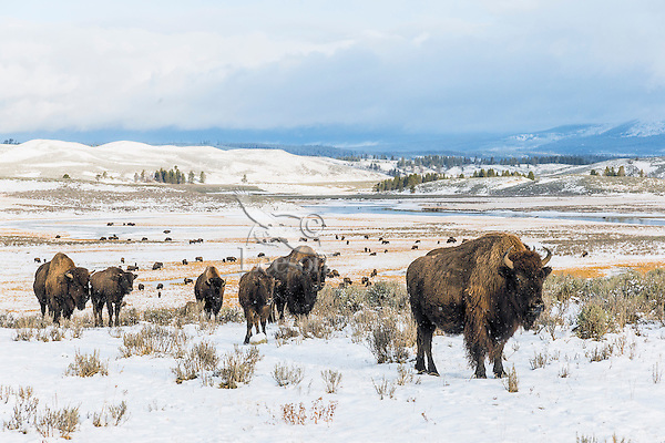 Bison herd (Bison bison).  Yellowstone National Park, Wyoming.  Fall.