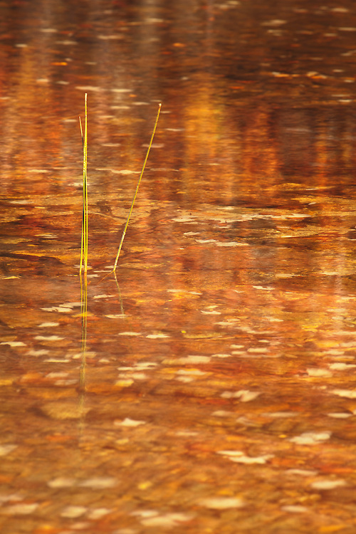 Reeds stand tall in autumnal reflections in Long Pond on Isle au Haut in Acadia National Park, Maine, USA
