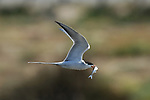 Forster's Tern in Flight with Fish, Bolsa Chica Wildlife Refuge, Southern California