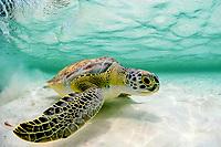 Green sea turtle, Chelonia mydas, Florida coast, USA, Atlantic Ocean