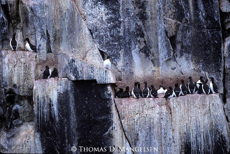 Razorbills (Alca torda) Svalbard, Norway