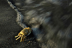 Red Sea Ghost Crab (Ocypode saratan) entering water, Salalah, Oman