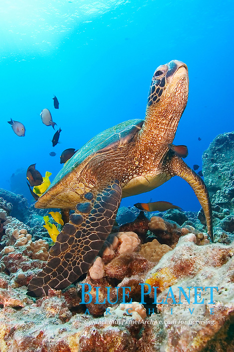 green sea turtle, Chelonia mydas, being cleaned by yellow tang, Zebrasoma flavescens and gold-ring surgeonfish, Ctenochaetus strigosus, (endemic to Hawaii), Kona, Big Island, Hawaii, Pacific Ocean