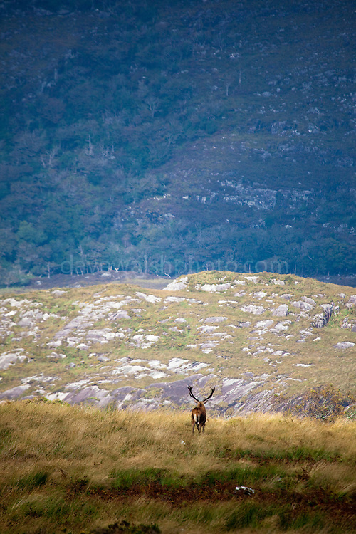 Red Deer stag follows its harem of hinds, Cervus elaphus, near Torc Mountain in Killarney National Park, Kerry, Ireland, during the annual rutting season. Native to Ireland since the last ice age, the red deer population dwindled to around 60 at the turn of the 20th century, but thanks to protection and management now number in the hundreds. During the rutting season, the stags gather around 5 hinds into a harem, and give out a loud, deep roar to challenge or ward off other males. Inexplicably, the red deer hinds are still hunted in Ireland, although it's illegal to hunt the stags in Kerry. Copyright 2011 Dave Walsh. All Rights Reserved.