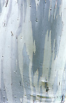 Snowy Gum Trunk Detail, Cradle Mt. & Lake St. Clair NP, Tasmania, Australia
