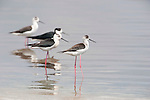 Black Winged Stilt, Himantopus himantopus, Lesvos Island, Greece, Migrant summer visitor, wading in water, , lesbos