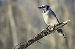 Blue Jay, Cyanocitta cristata, Canada, perched in tree, winter, woodland habitat