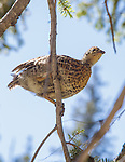 an immature spruce grouse barely able to fly in a tree in montana