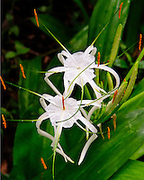 A close-up of a spider lily at the National Tropical Botanical Garden, Kaua'i.