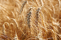 wheat field ready to be harvested