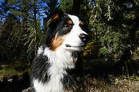 Australian Shepherd Molly Montana
