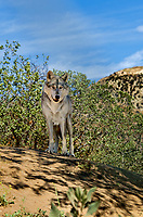 694920032 a gray wolf canis lupus relaxes on a shady hillside in their enclosure at a wildlife rescue facility - animal is a wildlife rescue animal - species is native to northern tier of north america and is endangered in much of its home range