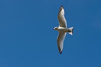 Dreizehenmöwe, Jungvogel im Flug, Flugbild, fliegend, Dreizehen-Möwe, Dreizehenmöve, Möwe, Rissa tridactyla, kittiwake
