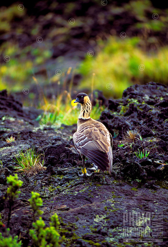 The Hawaii state bird, the nene goose at Haleakala National park, Maui